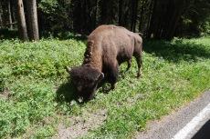 Roadside Bull Buffalo